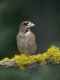 Female Evening Grosbeak, Coccothraustes Vespertinus, Eastern North America Photographie par Joe McDonald