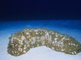 Furry Sea Cucumber (Astichopus Multifidus), Phylum Echinodermata, Class Holothuroidea Photographic Print by Randy Collyer