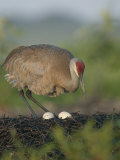 Sandhill Crane, Grus Canadensis, Male on the Nest with Eggs, North America Photographic Print by Arthur Morris