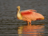Roseate Spoonbill, Ajaia Ajaja, in Breeding Plumage, Southern USA Photographic Print by John Cornell