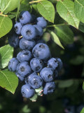 Blueberries, 'North Blue' Variety Lámina fotográfica por Wally Eberhart