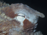 Eye of the Giant Pacific Octopus Photographic Print by Ken Lucas