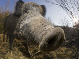Wild Boar (Sus Scrofa), Germany, Bavaria Photographic Print by Reinhard Dirscherl