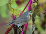 Gray-Cheeked Thrush (Catharus Minimus), North America Photographie par Steve Maslowski