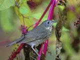 Gray-Cheeked Thrush (Catharus Minimus), North America Photographie par Steve Maslowski