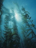 Giant Kelp Forest, Macrocystis Pyrifera, Central California, USA Lmina fotogrfica por David Wrobel