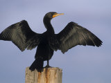 Double-Crested Cormorant Drying its Wings, , Phalacrocorax Auritus Fotografiskt tryck av John & Barbara Gerlach