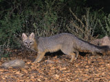 Gray Fox, Urocyon Cinereoargenteus, North America Photographic Print by Charles Melton