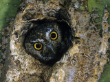Elf Owl Peering from a Hole in a Saguaro Cactus (Micrathene Whitneyi). Southwestern USA Fotoprint van Rick & Nora Bowers