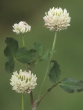 White Clover Flowers, Trifolium Repens, North America Photographic Print by Derrick Ditchburn