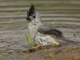 Black-Crested Titmouse Bathing, Baeolophus Atricristatus, Texas, USA Photographie par John Cornell