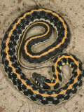 Black-Necked Gartersnake, , Thamnophis Siirtalis Occellata, Young Speciman, USA Photographic Print by Jim Merli