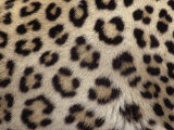 Leopard Skin Showing its Spots, Panthera Pardus, Masai Mara, Kenya, Africa Photographic Print by Fritz Polking