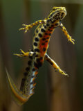 Smooth Newt Swimming Underwater (Triturus Vulgaris), Germany Photographic Print by Solvin Zankl