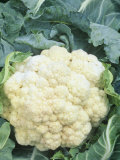 Cauliflower (Brassica Oleracea), Snow Crown Variety Photographic Print by Wally Eberhart
