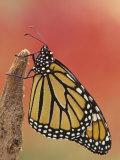 Monarch Butterfly Photographic Print by Arthur Morris