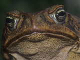 Giant Marine Toad, Bufo Marinus Lmina fotogrfica por Joe McDonald