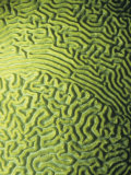 Symmetrical Brain Coral, Diploria Strigosa, with Zooanthellae or Symbiotic Algae, Belize, Caribbean Photographic Print by James Beveridge
