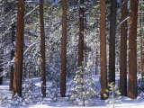 Winter View of Jeffrey Pines, Pinus Jeffreyi, Eastern Sierra Nevada Mountains, California, USA Photographic Print by Adam Jones