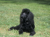 Standard Poodle, Black, Variety of Domestic Dog Photographic Print by Cheryl Ertelt