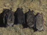 Little Brown Bats Hibernating in a Cave (Myotis Lucifugus), USA Photographic Print by Joe McDonald