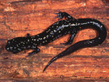 Cumberland Slimy Salamander (Plethodon Kentucki), Eastern USA Photographic Print by Michael Redmer