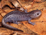 Mole Salamander (Ambystoma Talpoideum) Photographic Print by Michael Redmer