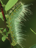 Atlas Moth Larva or Caterpillar (Dictyoploca Simla), Family Saturniidae, India Photographie par Leroy Simon