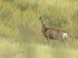 Doe Mule Deer in Grassland, Odocoileus Hemionus, Wind Cave National Park, South Dakota, USA Photographic Print by John & Barbara Gerlach