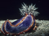 Sea Cucumber with Feeding Tentacles Extended, Pseudocolochirus, Australia Fotografisk tryk af Alex Kerstitch