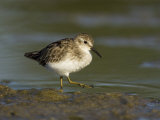 Least Sandpiper (Calidris Minutilla), USA Photographic Print by John Cornell