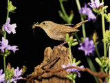 House Wren (Troglodytes Aedon) on a Fencepost with an Insect in its Bill Photographie par Steve Maslowski