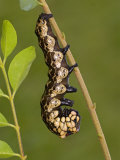 Owl Moth Caterpillar Crawling on a Twig (Brahmaea Certhia) Photographic Print by Leroy Simon