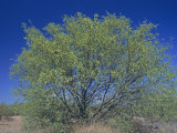 Velvet Mesquite Tree, Prosopis Velutina, Sonoran Desert, Arizona, USA Photographic Print by Doug Sokell