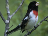 Rose-Breasted Grosbeak Singing, Pheucticus Ludovicianus, . Eastern USA Reproduction photographique par Gary Meszaros