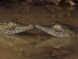 Two Baby Nile Crocodiles, Crocodylus Niloticus, East Africa Photographic Print by Joe McDonald