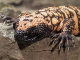 Gila Monster (Heloderma Suspectum), USA Photographic Print by Joe &amp; Mary Ann McDonald