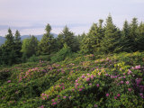 Catawba Rhododendrons in Flower at Dawn on Roan Mountain, Tennessee, USA Photographic Print by Adam Jones