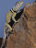 Collared Lizard, Crotaphytus Collaris, California, USA Photographic Print by Joe McDonald