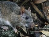 Key Largo Wood Rat or Packrat (Neotoma Floridana Smalli), an Endangered Species, Florida, USA Photographic Print by Rob & Ann Simpson