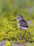 Young Black-Necked Stilt, Himantopus Mexicanus, California, USA Photographie par Arthur Morris