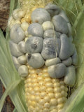 Corn (Zea Mays) Infected with Corn Smut (Ustilago Maydis Photographic Print by Dayton Wild