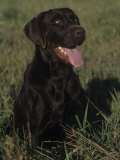 Chocolate Labrador Retriever Sitting in Field Photographic Print by Cheryl Ertelt