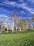Stand of Paper Birch Trees in Autumn, Betula Papyrifera, Near South Woodstock, Vermont, USA Photographic Print by Adam Jones