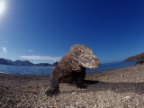 Komodo Dragon on the Beach (Varanus Komodoensis). Komodo National Park, Komodo Island Photographic Print by Reinhard Dirscherl
