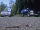 Rough-Skinned Newts Crossing a Highway, , Taricha Granulosa, California, USA Photographic Print by Joe McDonald