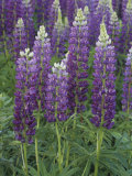 Garden Lupines, Lupinus, Russell Variety, North America Photographic Print by David Sieren
