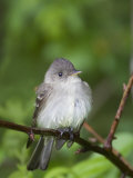 Eastern Wood-Peewee, Contopus Virens, Eastern North America Photographic Print by John Cornell