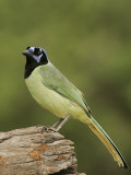 Green Jay, Cyanocorax Yncas, Texas, USA Photographic Print by John Cornell