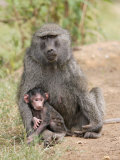 Olive Baboon with Baby Photographic Print by Gustav W. Verderber